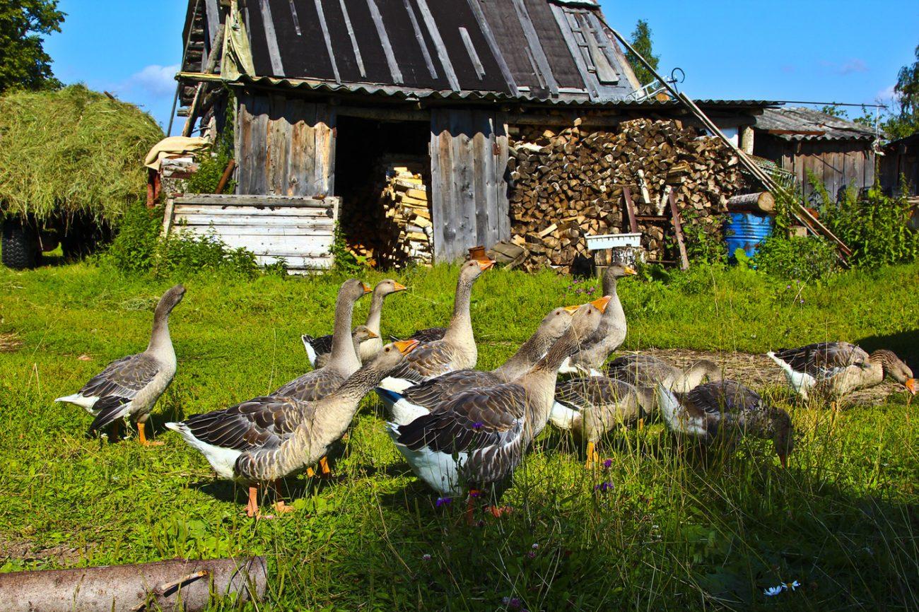 выходят замуж гуси в деревне картинка информация температуре воздуха
