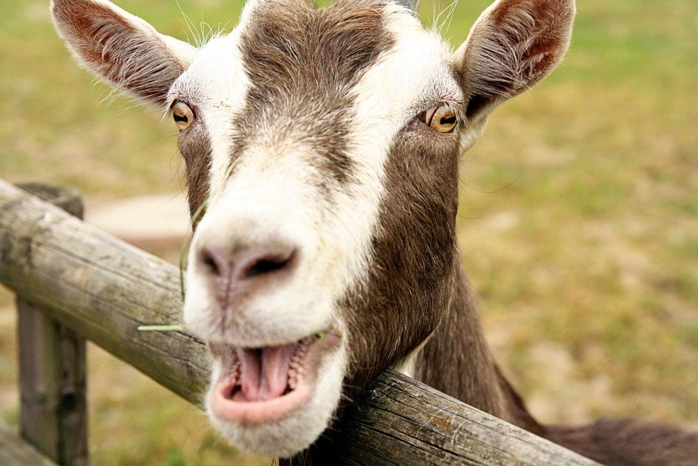 Маркировать ли животных? Минсельхоз хочет, Минэкономразвития и сельчане против, Госдуме всё равно